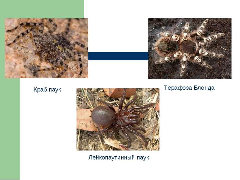 Краб паук Терафоза Блонда Лейкопаутинный паук
