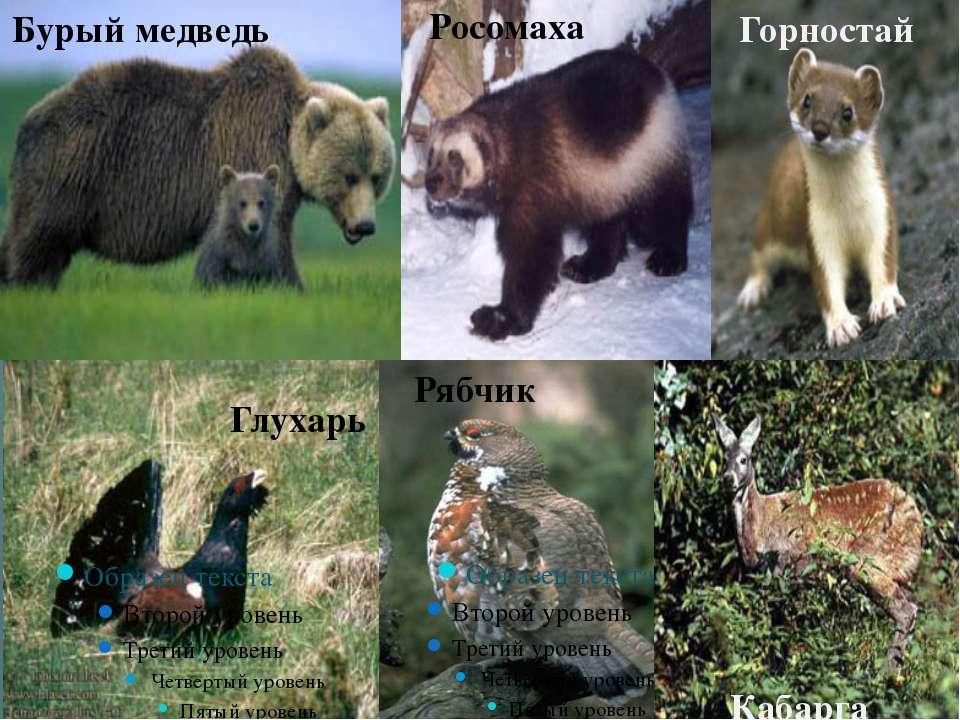 Глухарь Рябчик Бурый медведь Кабарга Горностай Росомаха