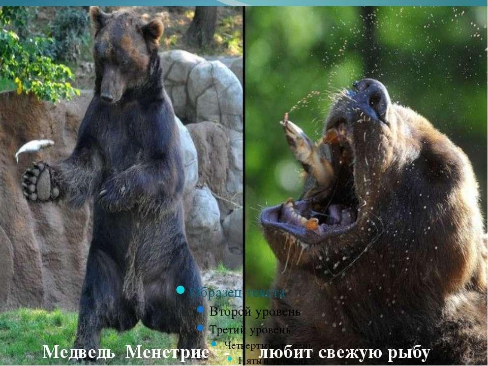 Медведь Менетрие - любит свежую рыбу