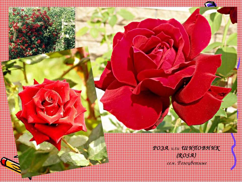 РОЗА, или ШИПОВНИК (ROSA) сем. Розоцветные