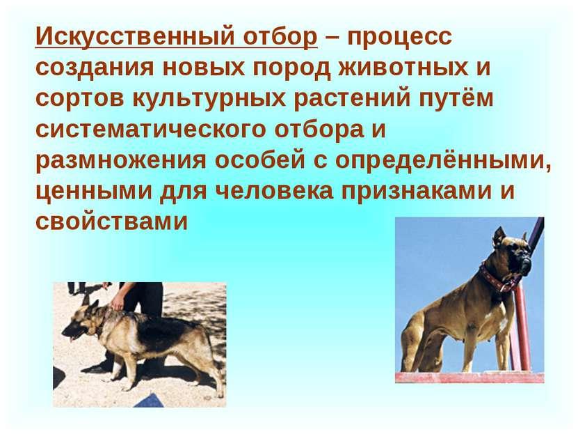Искусственный отбор – процесс создания новых пород животных и сортов культурн...