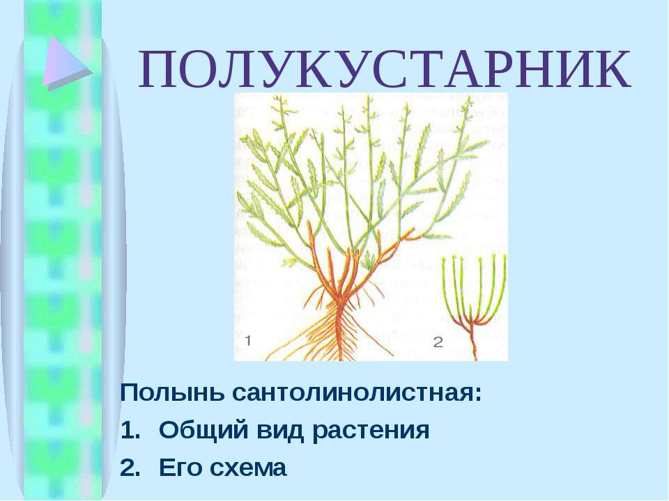 ПОЛУКУСТАРНИК Полынь сантолинолистная: Общий вид растения Его схема