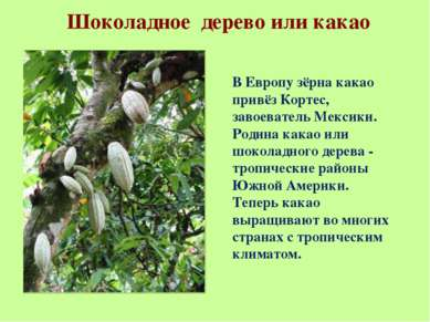 Шоколадное дерево или какао В Европу зёрна какао привёз Кортес, завоеватель М...