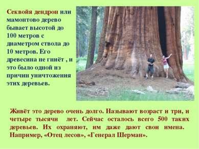Секвойя дендрон или мамонтово дерево бывает высотой до 100 метров с диаметром...