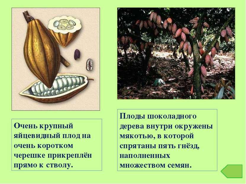Плоды шоколадного дерева внутри окружены мякотью, в которой спрятаны пять гнё...