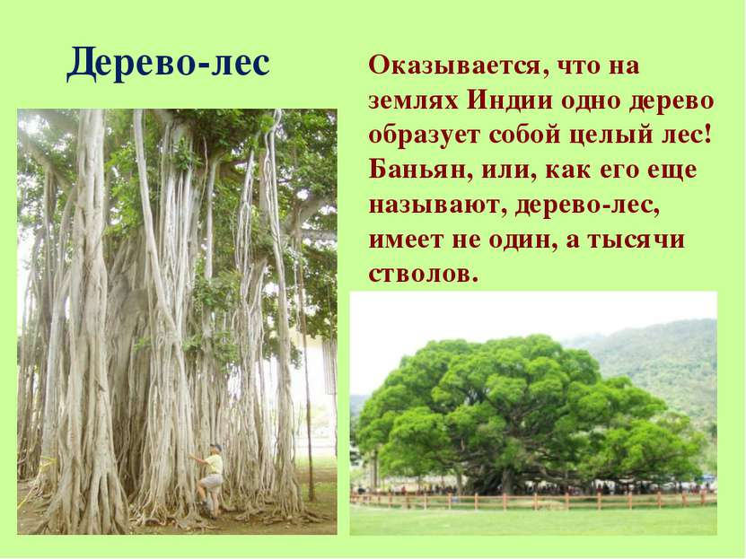 Дерево-лес Оказывается, что на землях Индии одно дерево образует собой целый ...