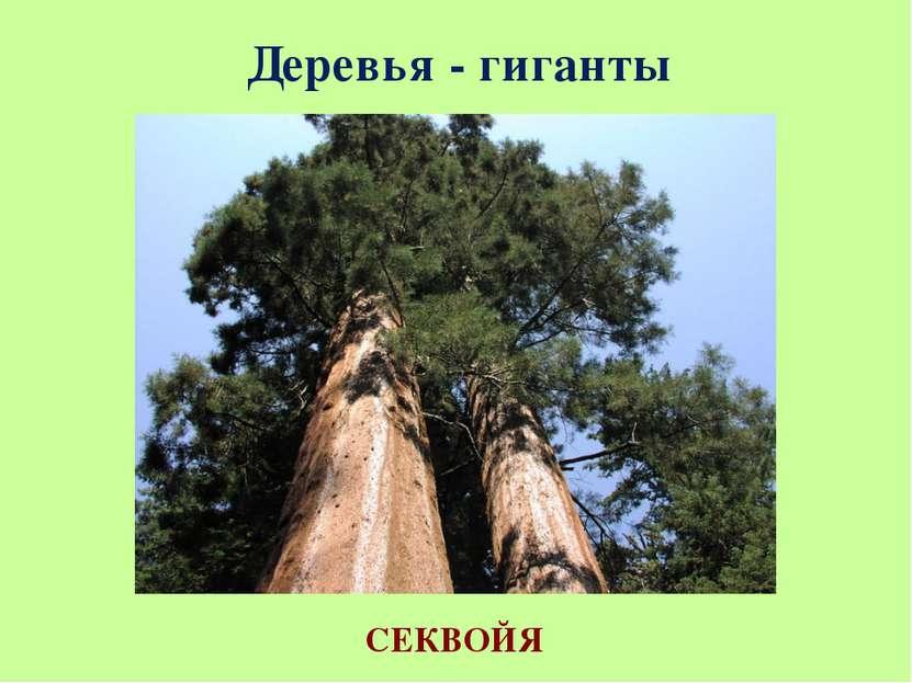 Деревья - гиганты СЕКВОЙЯ