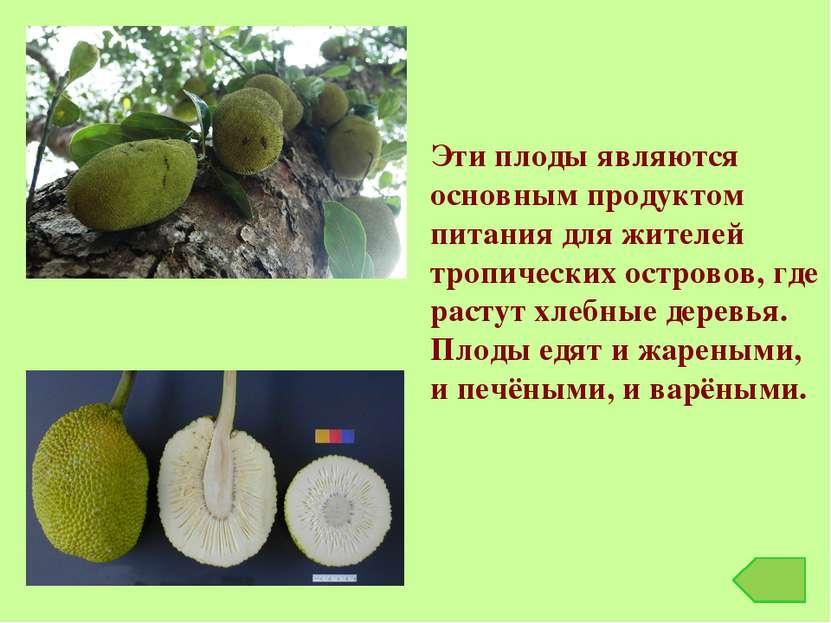 Эти плоды являются основным продуктом питания для жителей тропических острово...