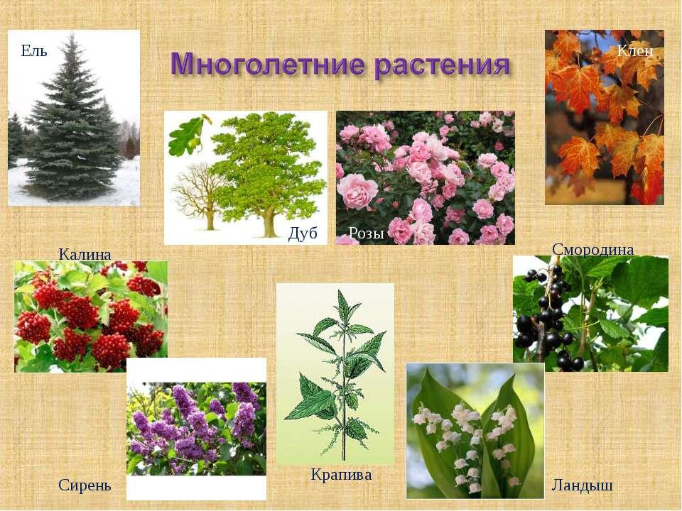 Розы Сирень Ландыш Смородина Клен Калина Ель Дуб Крапива