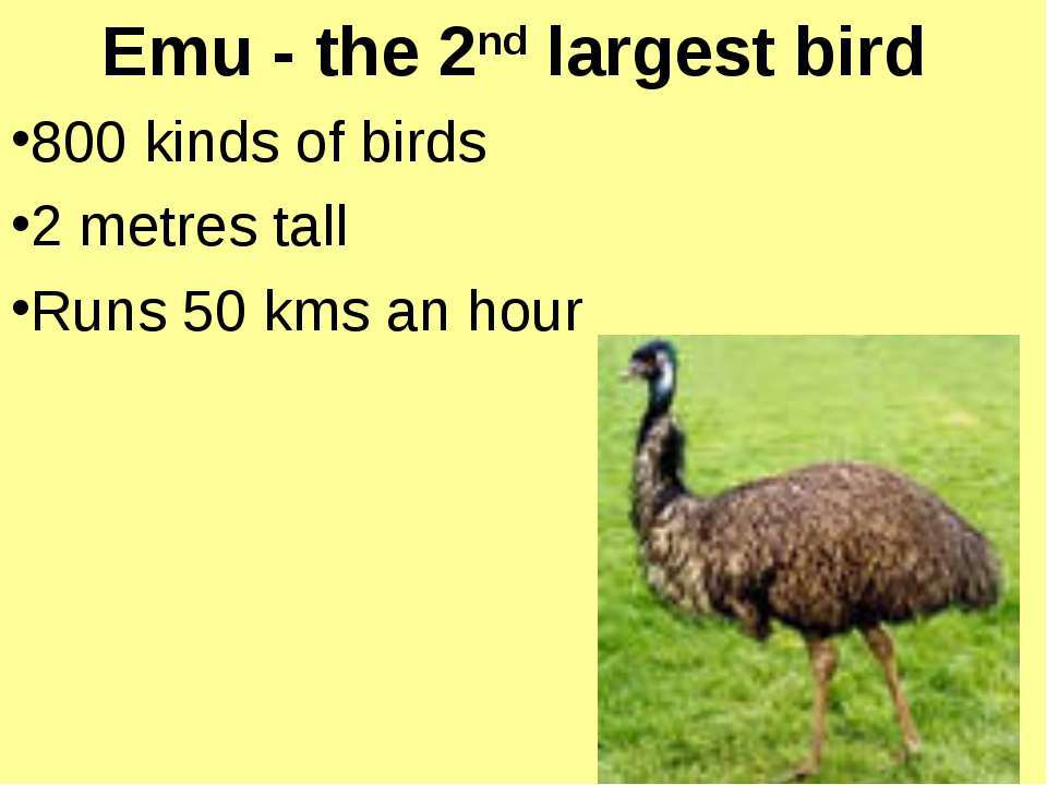 Emu - the 2nd largest bird 800 kinds of birds 2 metres tall Runs 50 kms an hour