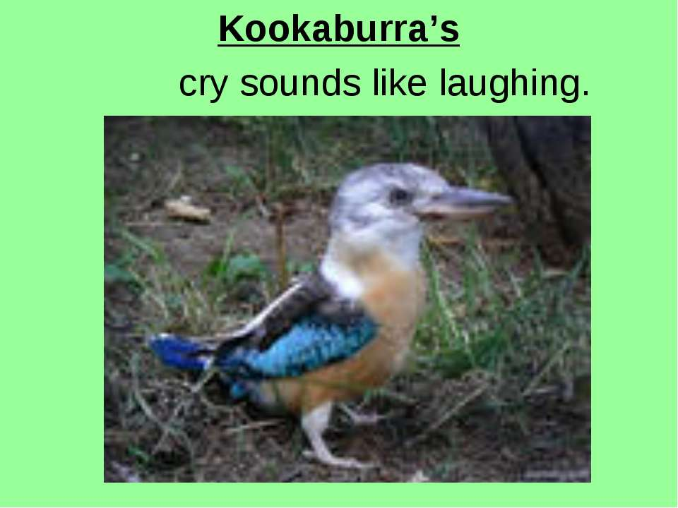 Kookaburra's cry sounds like laughing.