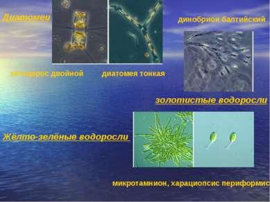 Диатомеи хетоцерос двойной диатомея тонкая золотистые водоросли динобрион бал...