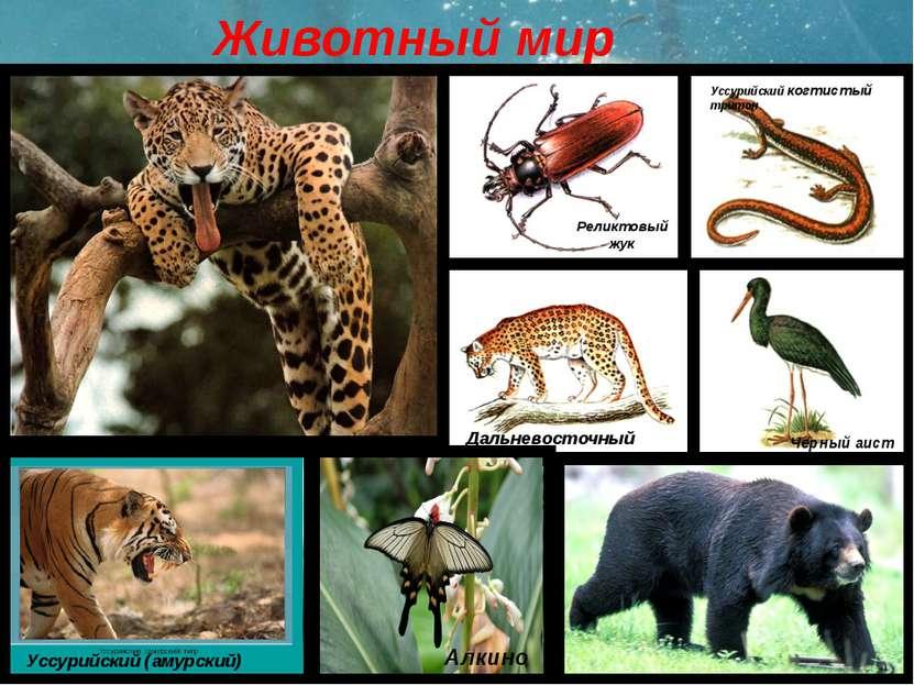 Животный мир Уссурийский когтистый тритон Реликтовый жук Черный аист Дальнево...