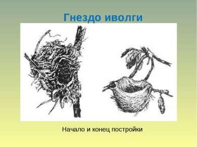 Гнездо иволги Начало и конец постройки