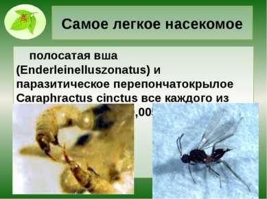Самое легкое насекомое полосатая вша (Enderleinelluszonatus) и паразитическое...