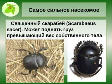 Самое сильное насекомое Священный скарабей (Scarabaeus sacer). Может поднять ...