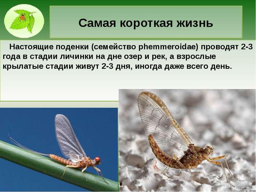 Самая короткая жизнь Настоящие поденки (семейство phemmeroidae) проводят 2-3 ...