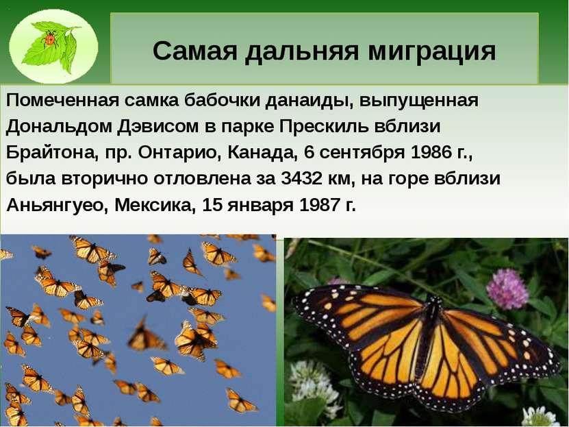 Самая дальняя миграция Помеченная самка бабочки данаиды, выпущенная Дональдом...