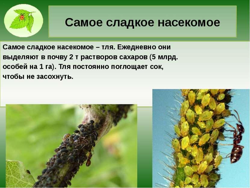 Самое сладкое насекомое Самое сладкое насекомое – тля. Ежедневно они выделяют...