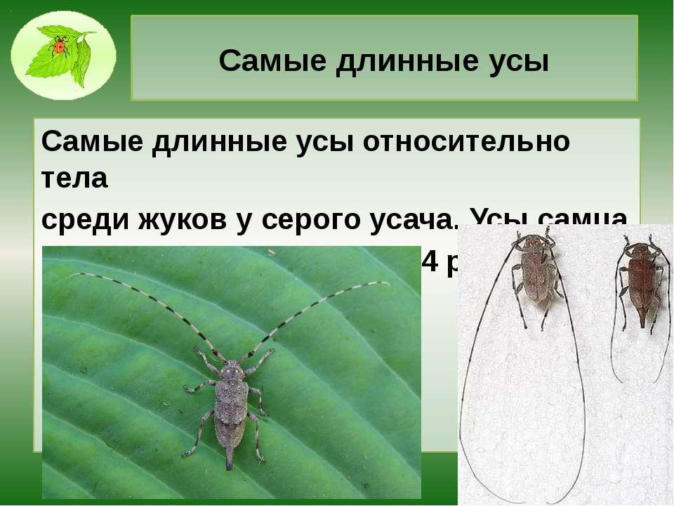 Самые длинные усы Самые длинные усы относительно тела среди жуков у серого ус...