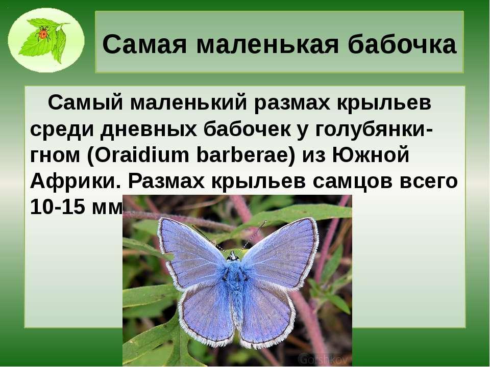 Самая маленькая бабочка Самый маленький размах крыльев среди дневных бабочек ...