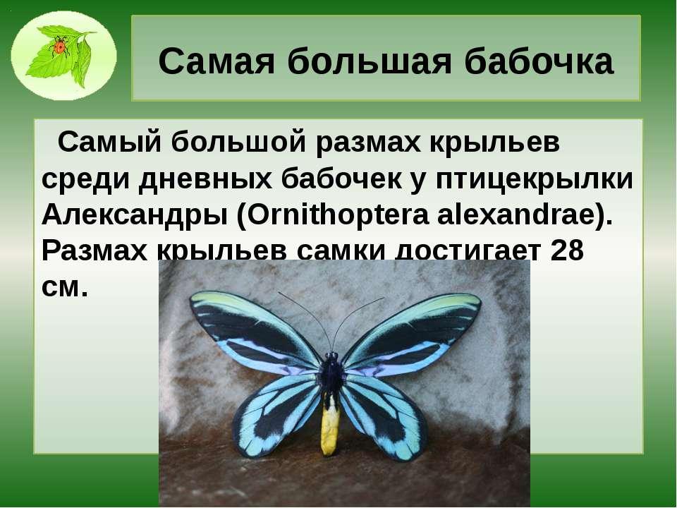 Самая большая бабочка Самый большой размах крыльев среди дневных бабочек у пт...