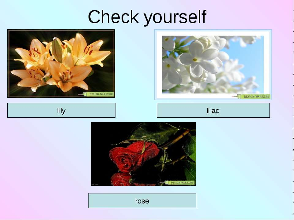 Check yourself lilac lily rose