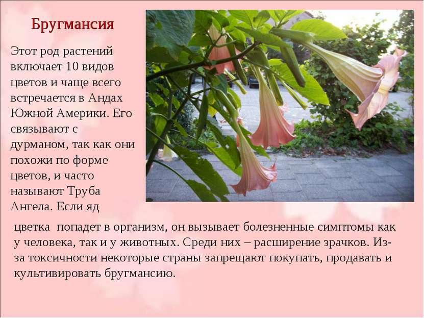 Бругмансия Этот род растений включает 10 видов цветов и чаще всего встречаетс...