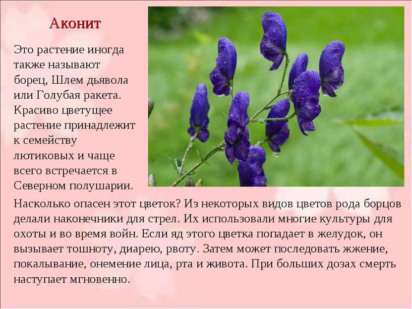 Аконит Это растение иногда также называют борец, Шлем дьявола или Голубая рак...