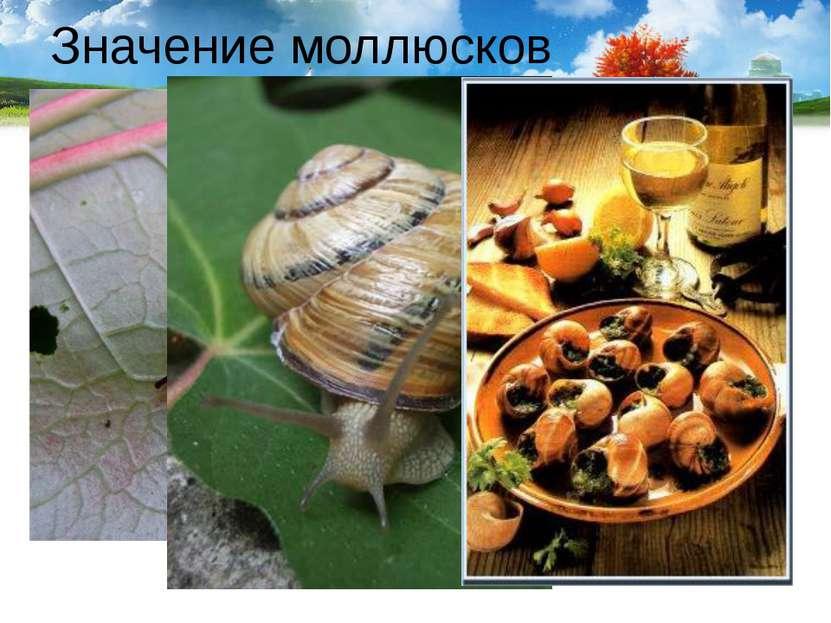 Значение моллюсков Слизни и виноградная улитка – вредители сельского хозяйств...