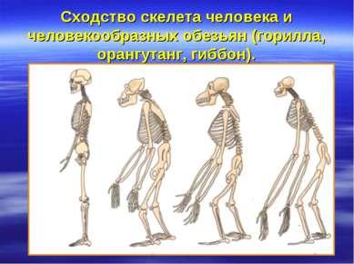 Сходство скелета человека и человекообразных обезьян (горилла, орангутанг, ги...