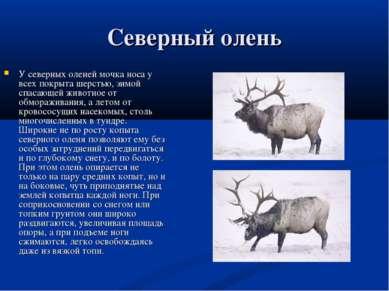 Северный олень У северных оленей мочка носа у всех покрыта шерстью, зимой спа...