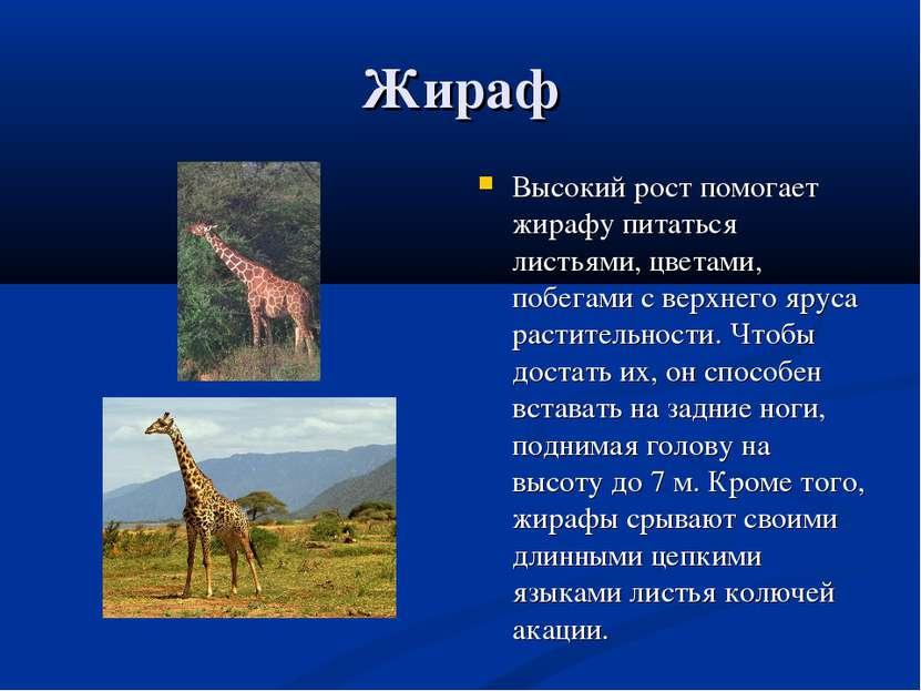 Жираф Высокий рост помогает жирафу питаться листьями, цветами, побегами с вер...