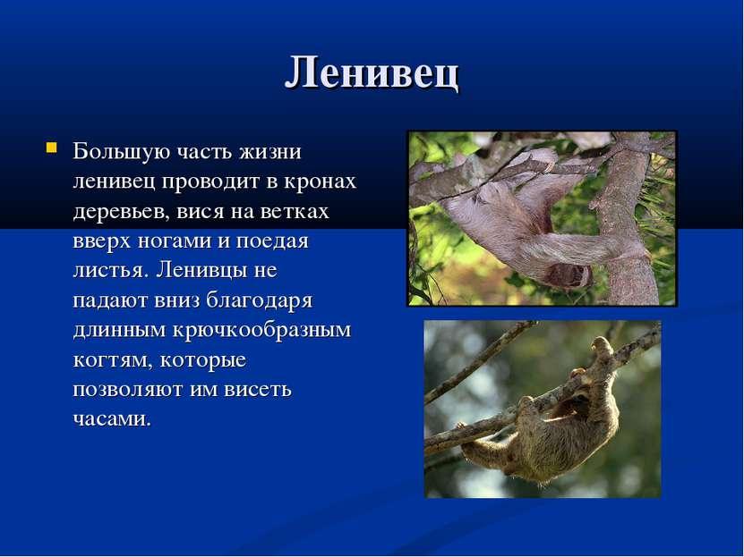 Ленивец Большую часть жизни ленивец проводит в кронах деревьев, вися на ветка...