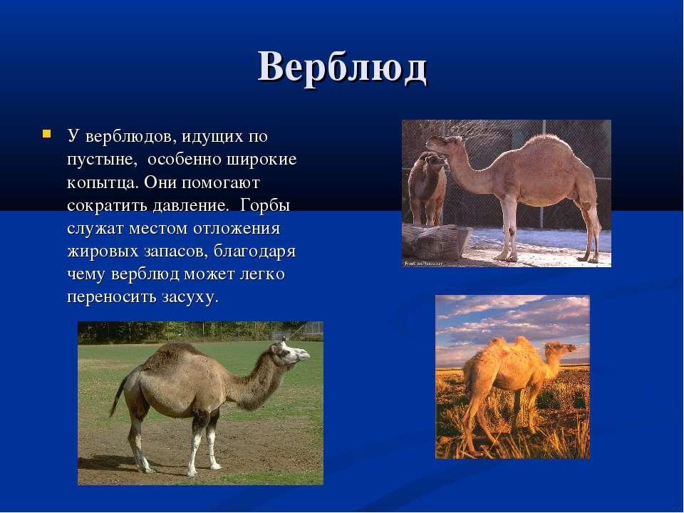 Верблюд У верблюдов, идущих по пустыне, особенно широкие копытца. Они помогаю...