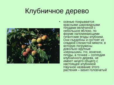 Клубничное дерево осенью покрывается красными шаровидными плодами величиной с...
