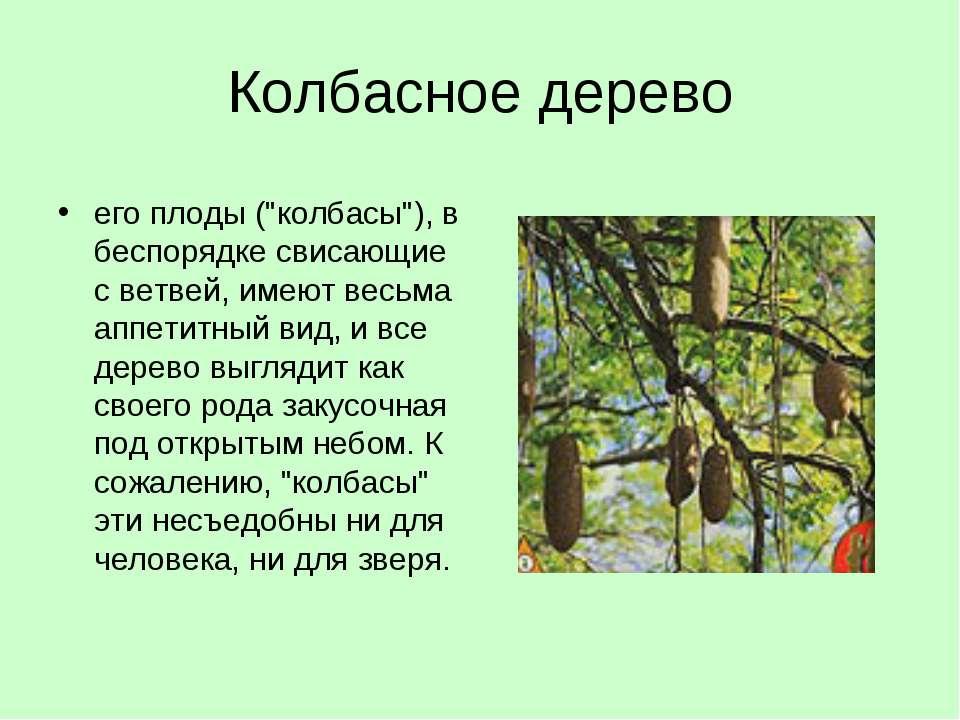 """Колбасное дерево его плоды (""""колбасы""""), в беспорядке свисающие с ветвей, имею..."""