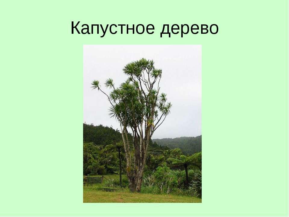 Капустное дерево