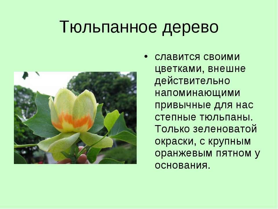 Тюльпанное дерево славится своими цветками, внешне действительно напоминающим...