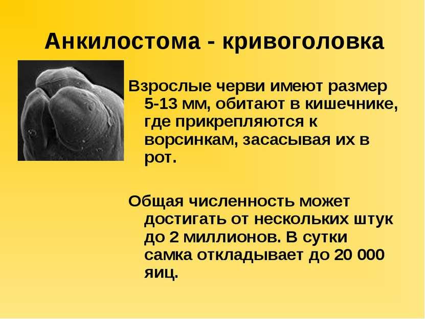 Анкилостома - кривоголовка Взрослые черви имеют размер 5-13 мм, обитают в киш...