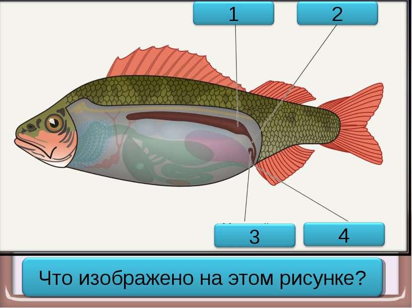 Выделительная система рыбы