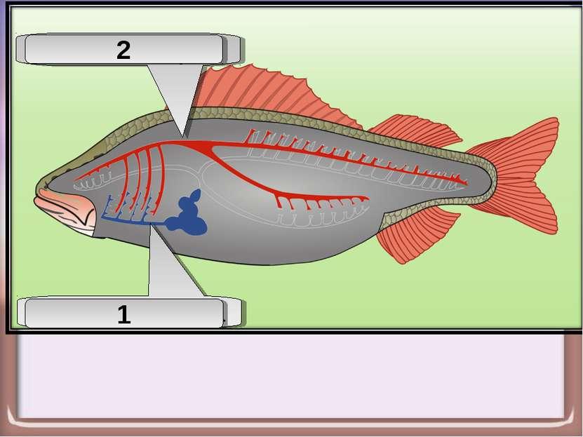 Брюшная аорта 1 Спинная аорта 2
