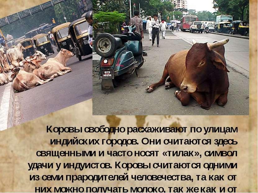 Коровы свободно расхаживают по улицам индийских городов. Они считаются здесь ...