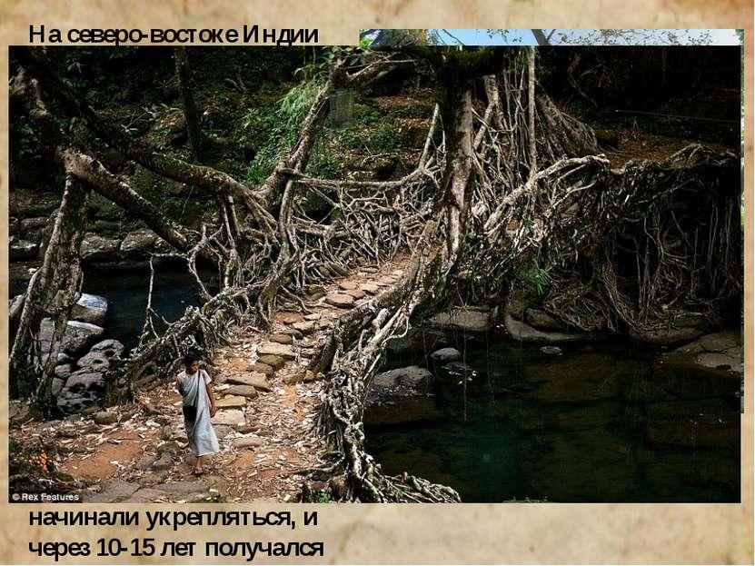 На северо-востоке Индии издавна пользовались мостами, выросшими естественным ...