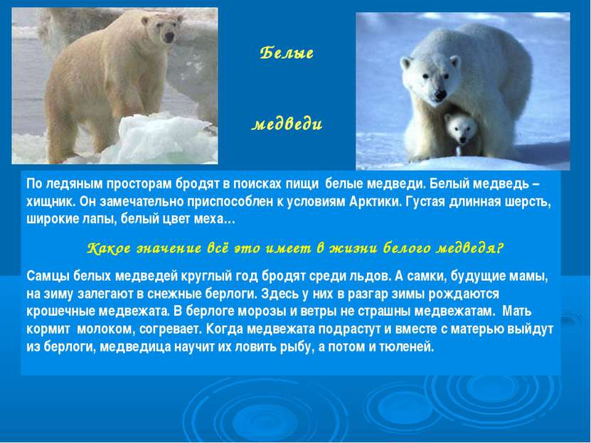 Белые медведи По ледяным просторам бродят в поисках пищи белые медведи. Белый...