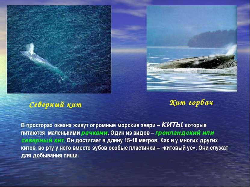 Северный кит Кит горбач В просторах океана живут огромные морские звери – КИТ...