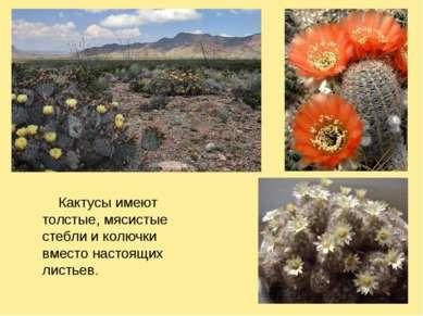 Кактусы имеют толстые, мясистые стебли и колючки вместо настоящих листьев.
