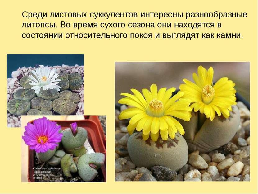 Среди листовых суккулентов интересны разнообразные литопсы. Во время сухого с...