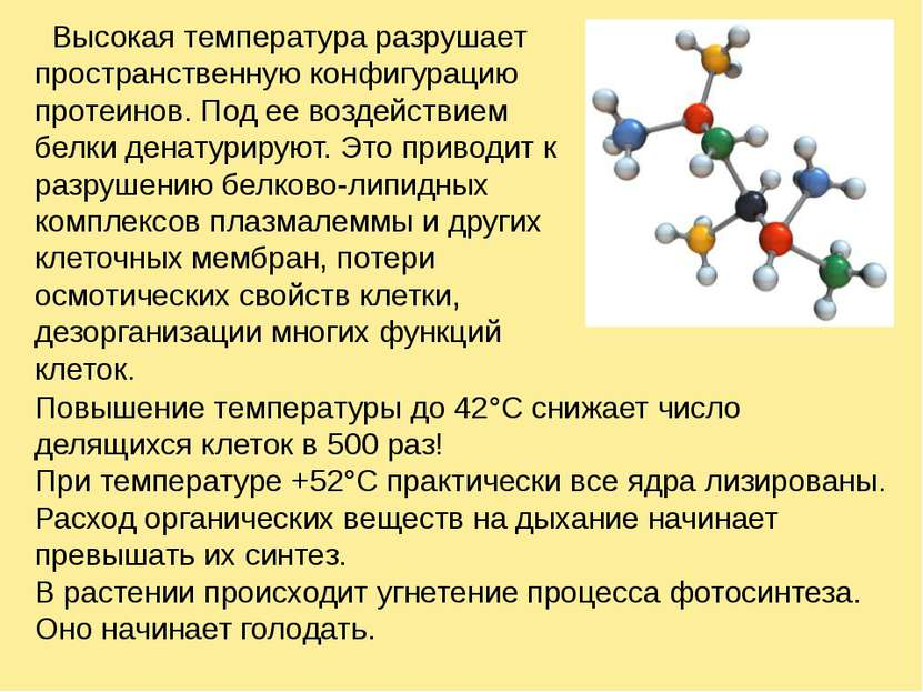 Высокая температура разрушает пространственную конфигурацию протеинов. Под ее...