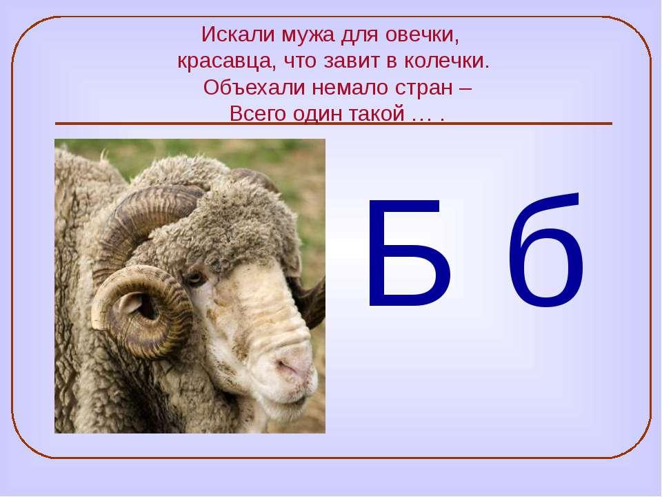 Искали мужа для овечки, красавца, что завит в колечки. Объехали немало стран ...